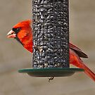 Cardinal watching from feeder by Brad Chambers