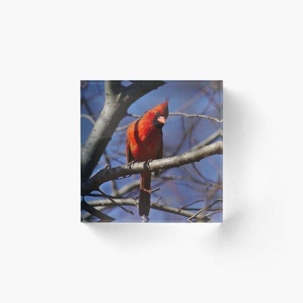 Male cardinal keeping watch Acrylic Block