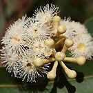 Cream Eucalypt by kalaryder