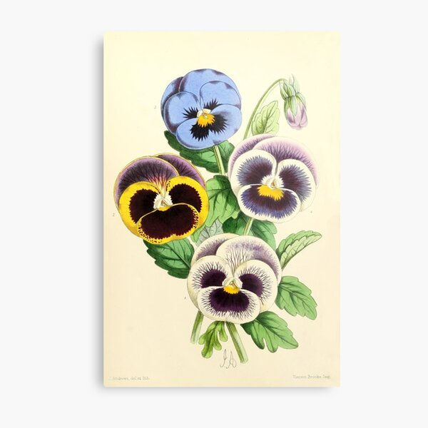 Andrews, James (1801-1876) - The Floral Magazine 1869 - Pansies Metal Print