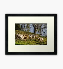 Brown and white cows on the sun, calm and tranquil pasturage Framed Print
