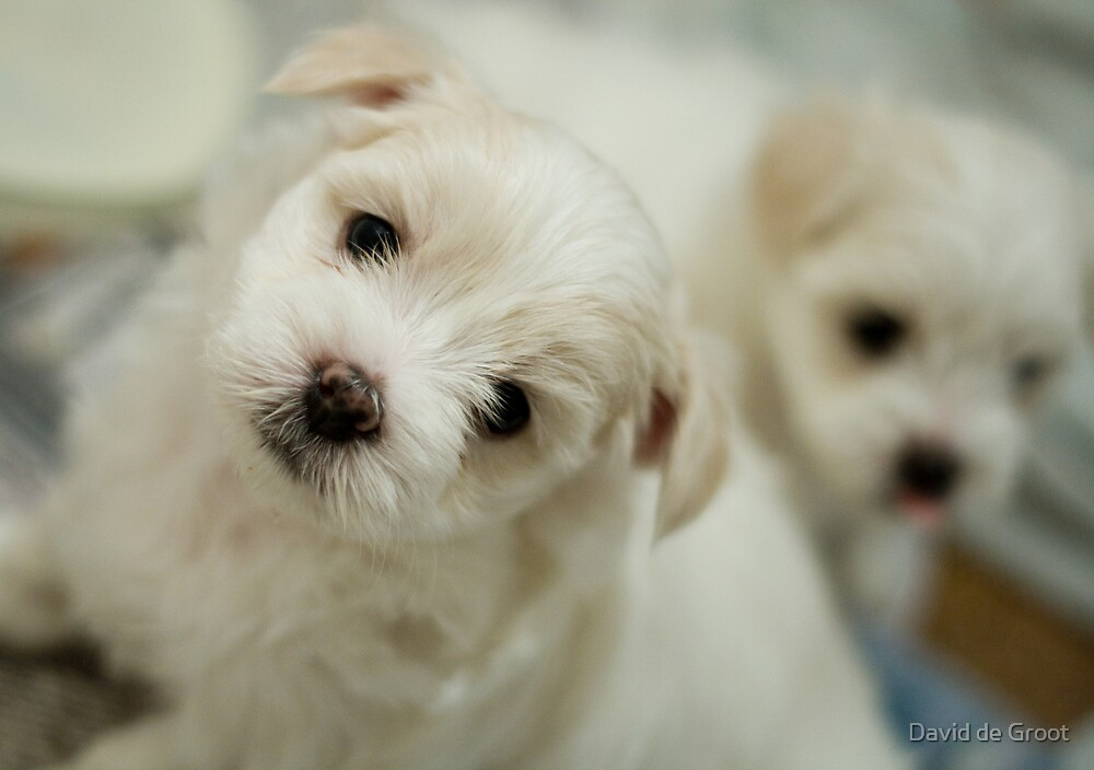 Puppy Stare by David de Groot