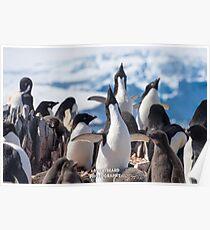 Crooning Adelie Penguins Poster