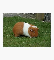 Brown and White guinea pig Photographic Print