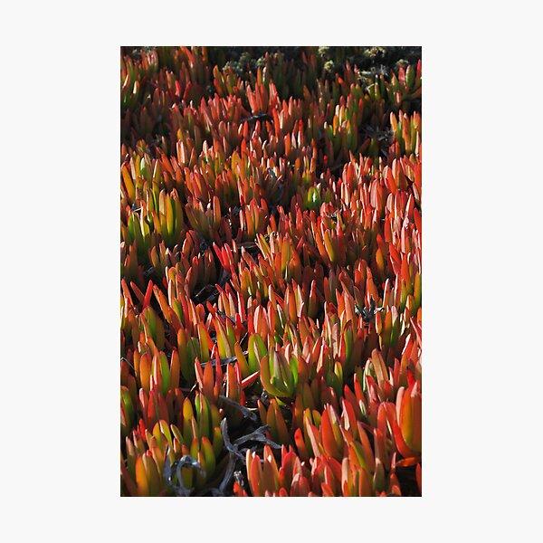 San Simion Succulents Photographic Print