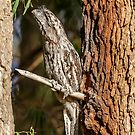 Tawny Frogmouth by robcaddy