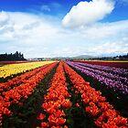 Colorful Skagit Valley Tulips by SavingMemories