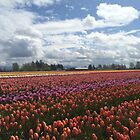 Fields of Tulips in Woodinville by SavingMemories