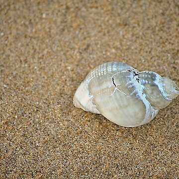 Beach Shell by AnthonyThomas