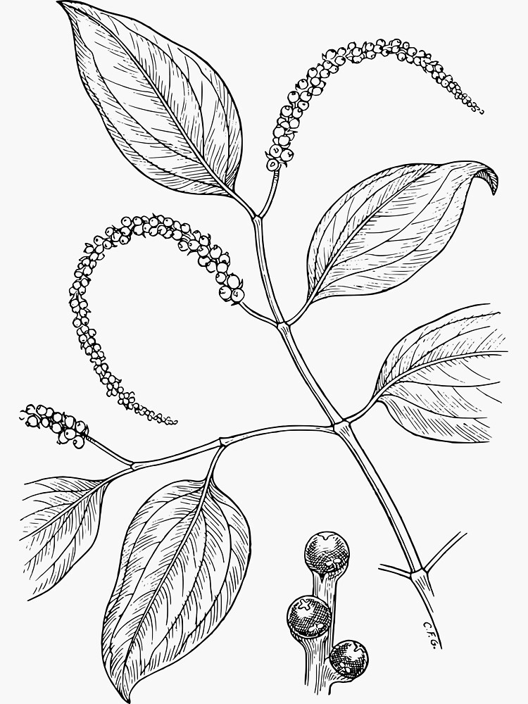 Botanical Scientific Illustration Black and White Pepper by pahleeloola