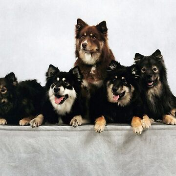 finnish lapphund group by marasdaughter