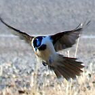 *Blue Faced Honey Eater* by Clive