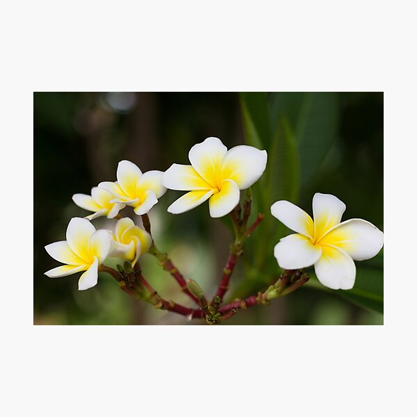 Frangipani leelawadee flowers Photographic Print