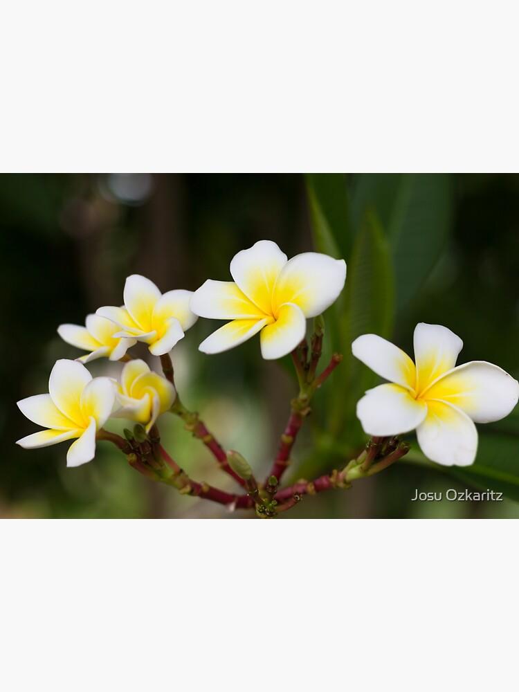 Frangipani leelawadee flowers by Joshollywood