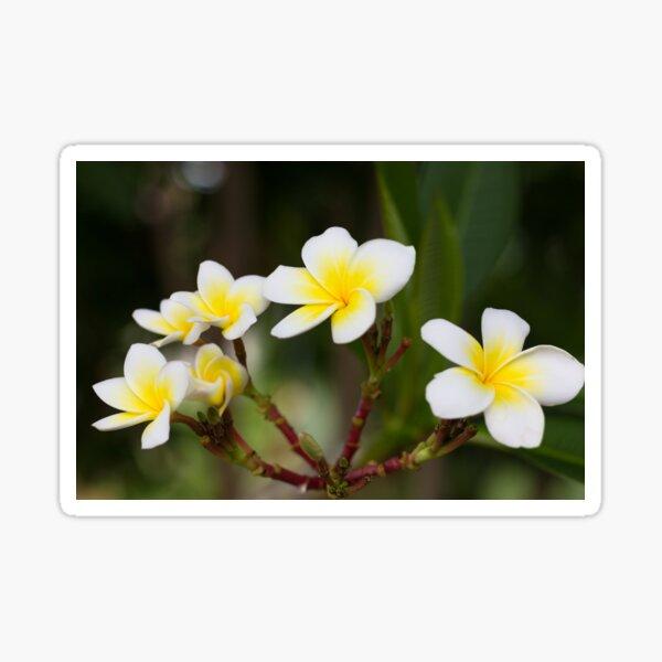 Frangipani leelawadee flowers Sticker