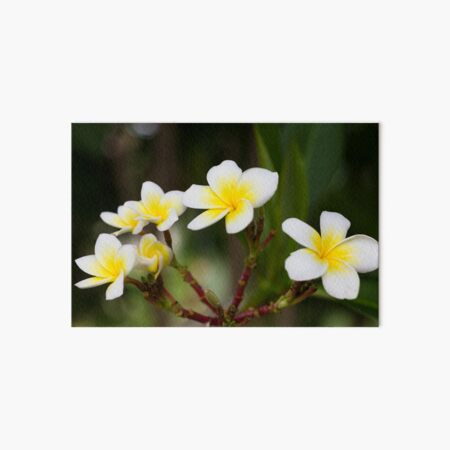 Frangipani leelawadee flowers Art Board Print