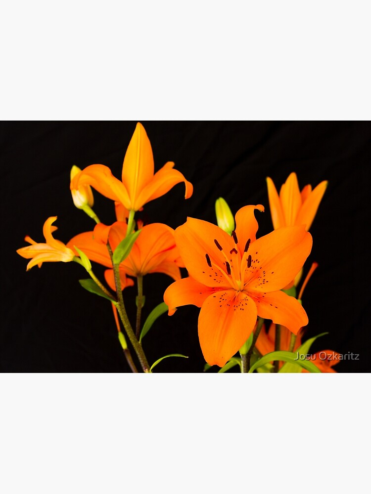Orange lilies flowers by Joshollywood