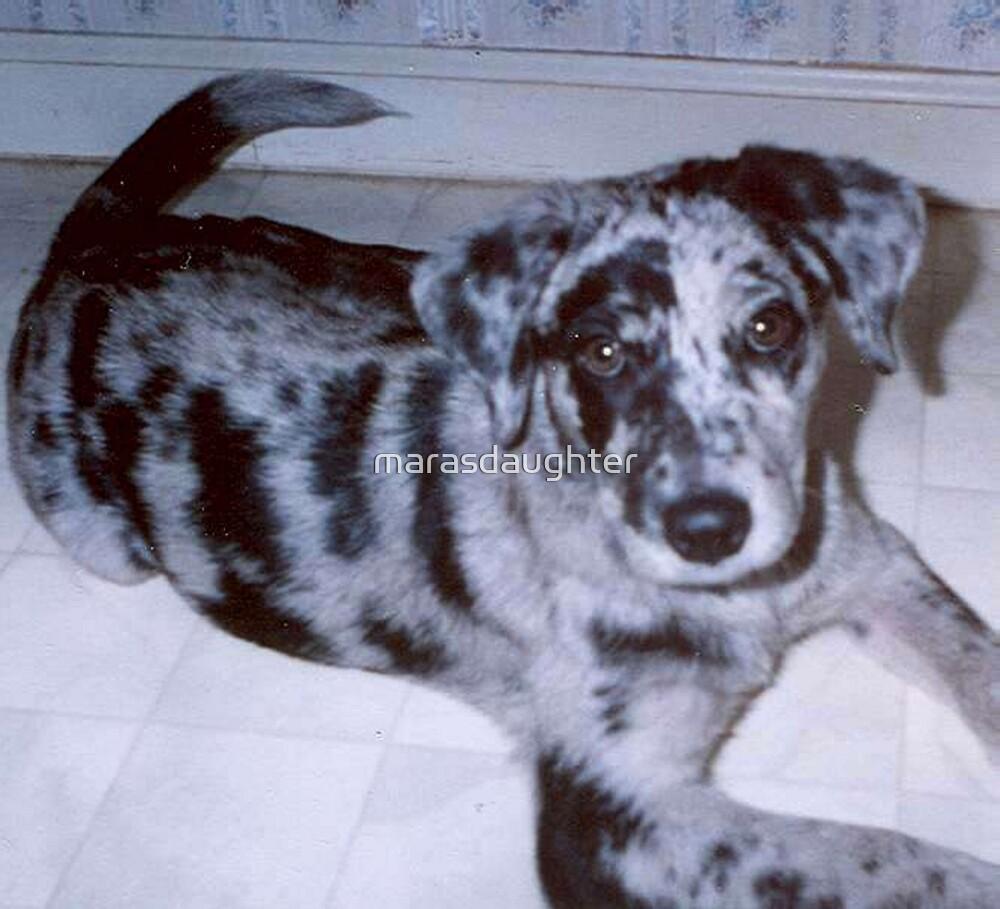 catahoula leopard dog blue merle puppy