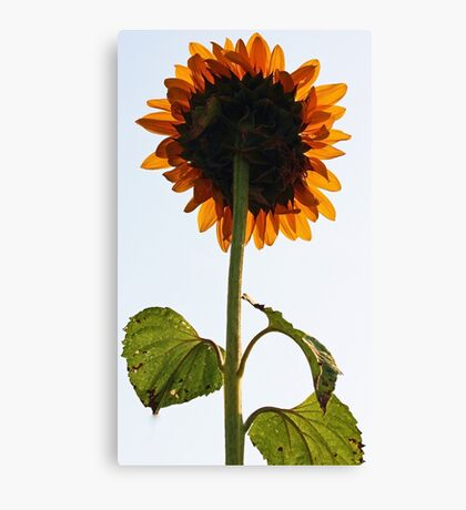 Sunflower - Facing a Grey Morning Sky Canvas Print