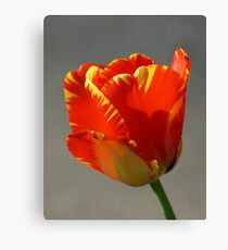 Flaming Tulip! Canvas Print