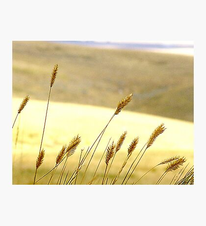 Prairie Grass Photographic Print