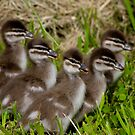 Wood Duck Ducklings by Peter Pevy