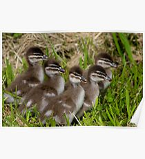 Wood Duck Ducklings Poster