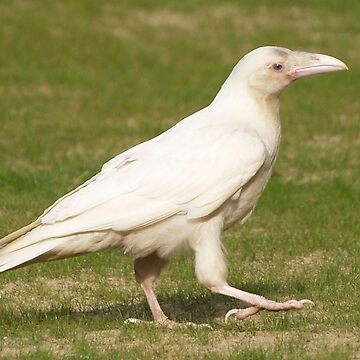 """Dare To Be Different"" (Rare White Raven) by RavenPrints"