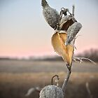 Milkweed Pods by Patrick Hickey