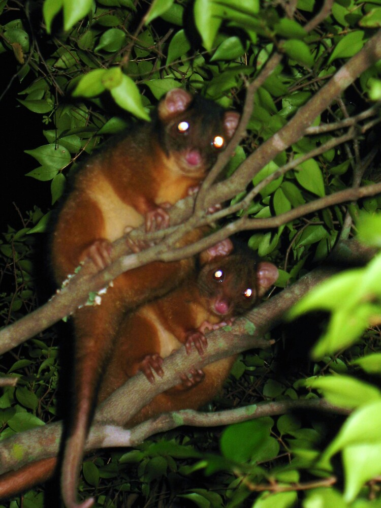 Two Possums by Jenelle  Irvine