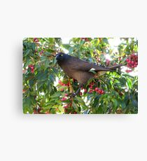 Currawong disturbed from stuffing himself on red berries Canvas Print