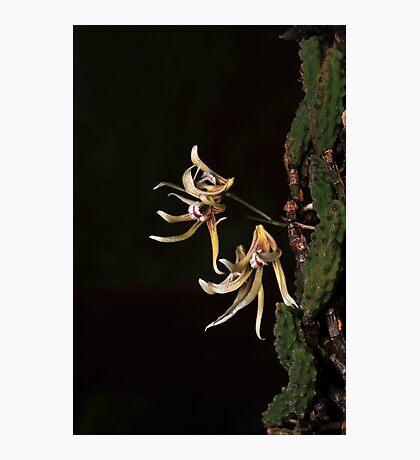 Dendrobium cucumerinum Photographic Print