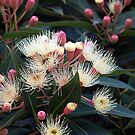 White Ficifolia Princes Way, Drouin  by Bev Pascoe