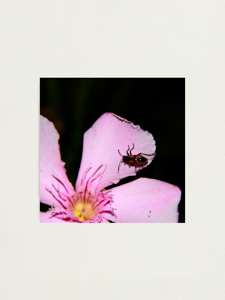 Alternate view of Milkweed Bug Photographic Print