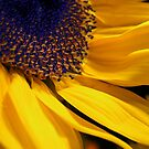 sunflower by Gasparedes