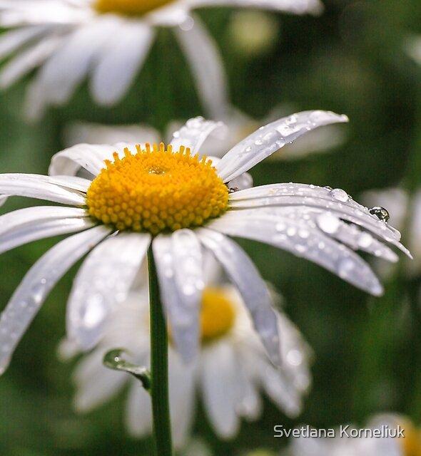 White daisy with rainy droplets  by Svetlana Korneliuk