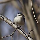 Nuthatch perching on tree branch by Brad Chambers