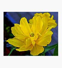 Yellow Tulip..... Photographic Print
