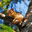 Chipmunk by Bill Miller