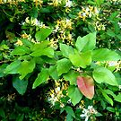Honeysuckle and Leaves by Vivian Eagleson