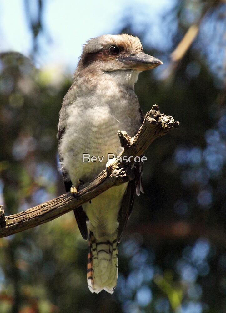 Kookaburra #3 by Bev Pascoe