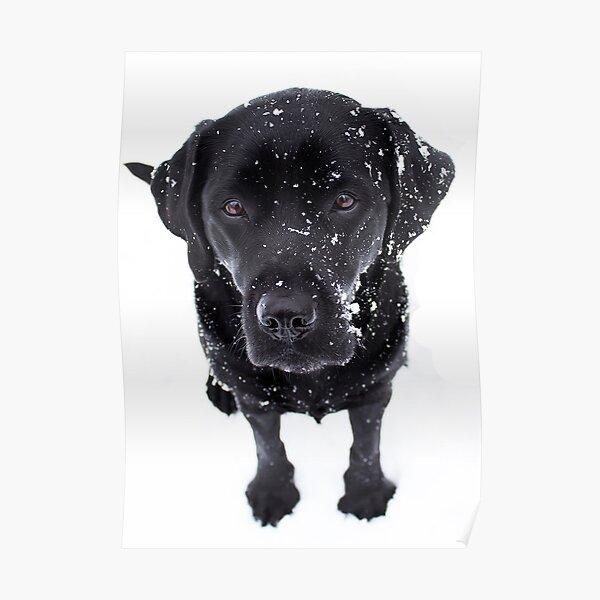 Snow Dog - Black Labrador Poster