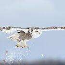 Snowy owl blast-off by Jim Cumming