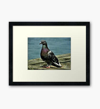 Rock Pigeon Framed Print