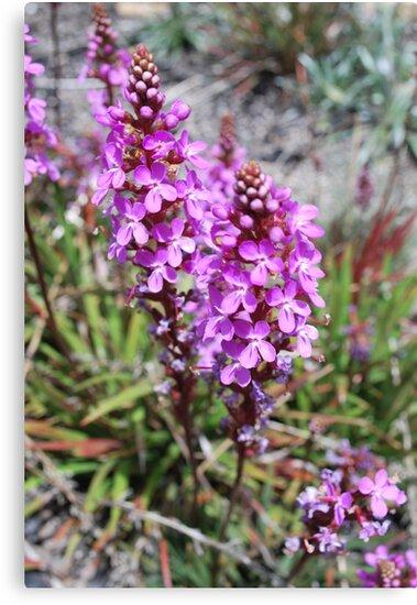 Flower Spike of the Grass Trigger Plant. Mt Buffalo by Lozzar Flowers & Art