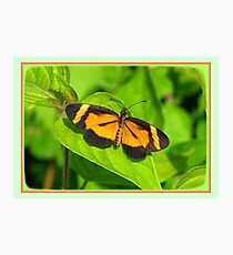 Heloconius Butterfly Photographic Print