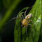 Lynx Spider on Hibiscus Bud by Andrew Durick