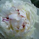 White peony with bordeaux edge by Marina Sterina