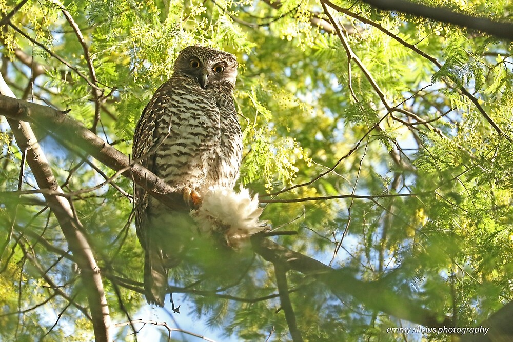 Powerful Owl (109) by Emmy Silvius