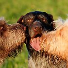 Spinone Kisses for German Wirehaird Pointer Keltoi by heidiannemorris